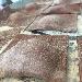 -Raviolo al cacao con ripieno di patate, pecorino e mentuccia sarda - - - Fotografia inserita il giorno 14-02-2019 alle ore 06:58:04 da pasqualefranzese