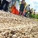 DAZI: COLDIRETTI, AGRICOLTORI IN PIAZZA CONTRO INVASIONE RISO ASIATICO SCOPPIA GUERRA RISO, SERVE PRODURRE TRE CHILI PER ACQUISTARE UN CAFFE'