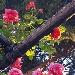 LA ROSA ANTICA DI POMPEI un viaggio lungo 2000 anni….. Progetto di studio del Parco archeologico di Pompei  e del Dipartimento di Agraria dell'Università Federico II. Presentazione dei risultati della ricerca VILLA SILVANA – 6 GIUGNO ORE 17,00 (Via Nicola de Prisco, 15 Boscoreale (NA))