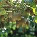 Kiwi nella pianta da ZESPRI™ Europa - - - Fotografia inserita il giorno 15-11-2018 alle ore 16:22:31 da luigi