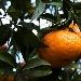 Fino al 24 febbraio 2018 Napoli, Serrara Fontana, Lacco Ameno, Bacoli, Monte di Procida e Pozzuoli celebrano il Mandarino dei Campi Flegrei