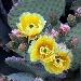 Fiore di fico D